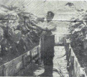 Mr F. Botwright tending the cucumbers in the glasshouses at Pansy Villa in Belton